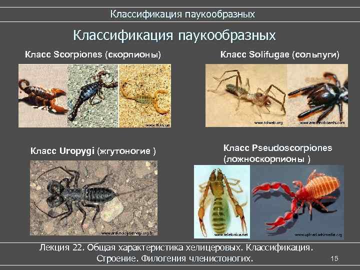 Классификация паукообразных Класс Scorpiones (скорпионы) Класс Solifugae (сольпуги) www. tolweb. org www. ftl. ks.