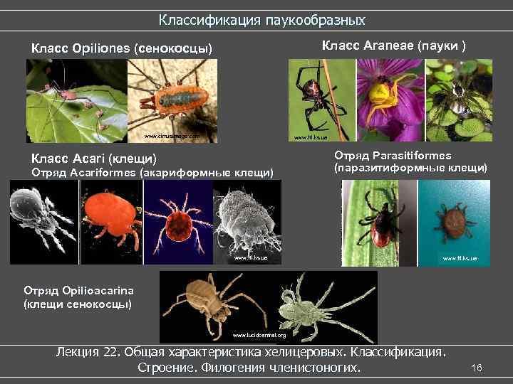 Классификация паукообразных Класс Araneae (пауки ) Класс Opiliones (сенокосцы) www. cirrusimage. com www. ftl.