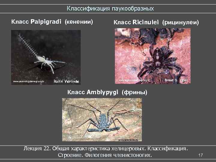 Классификация паукообразных Класс Palpigradi (кенении) www. araknolojidernegi. org. tr Класс Ricinulei (рицинулеи) www. araknolojidernegi.