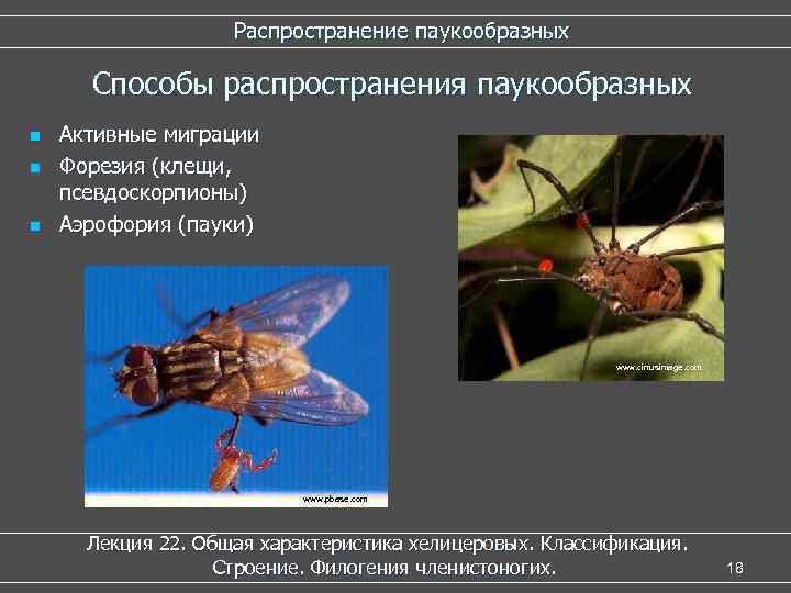 Распространение паукообразных Способы распространения паукообразных n n n Активные миграции Форезия (клещи, псевдоскорпионы) Аэрофория