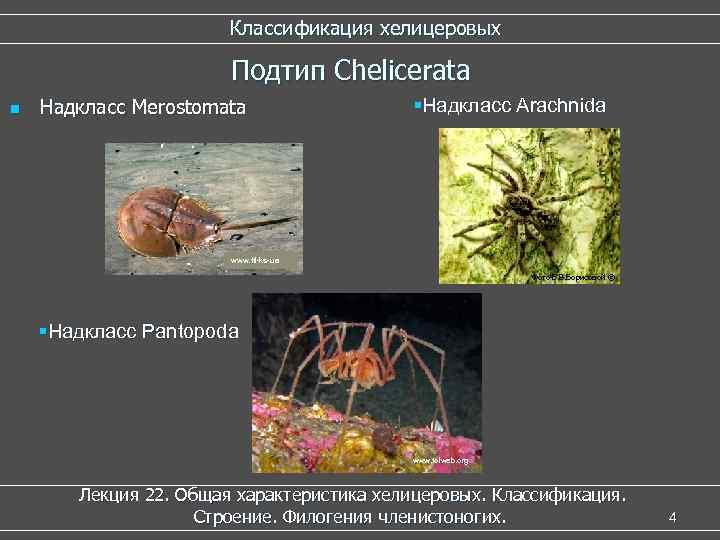 Классификация хелицеровых Подтип Chelicerata n Надкласс Merostomata §Надкласс Arachnida www. ftl-ks-ua Фото Е. В.