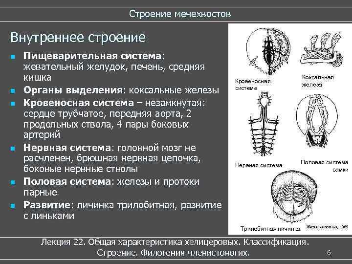 Строение мечехвостов Внутреннее строение n n n Пищеварительная система: жевательный желудок, печень, средняя кишка