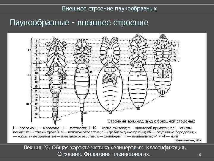 Внешнее строение паукообразных Паукообразные - внешнее строение Строение арахнид (вид с брюшной стороны): I