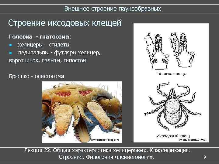 Внешнее строение паукообразных Строение иксодовых клещей Головка - гнатосома: n хелицеры – стилеты n
