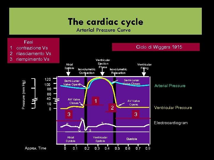 The cardiac cycle Arterial Pressure Curve Fasi 1 contrazione Vs 2 rilasciamento Vs 3