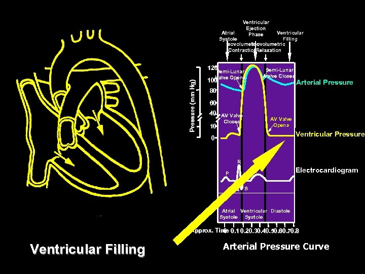 Ventricular Ejection Phase Atrial Ventricular Systole Filling Isovolumetric Contraction. Relaxation Pressure (mm Hg) 120