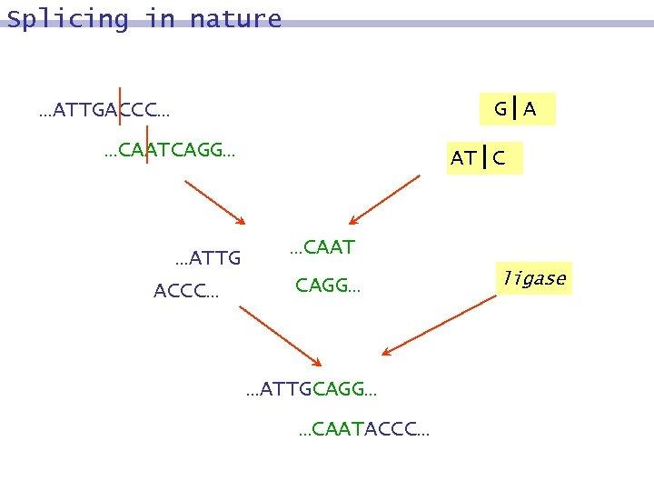 Splicing in nature G|A …ATTGACCC… …CAATCAGG… …ATTG ACCC… AT|C …CAAT CAGG… …ATTGCAGG… …CAATACCC… ligase