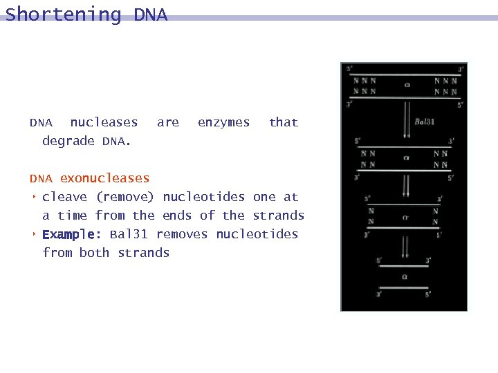 Shortening DNA nucleases degrade DNA. are enzymes that DNA exonucleases 8 cleave (remove) nucleotides