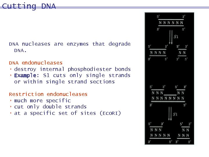 Cutting DNA nucleases are enzymes that degrade DNA endonucleases 8 destroy internal phosphodiester bonds
