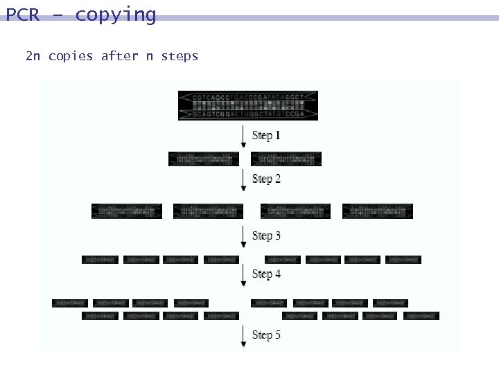 PCR – copying 2 n copies after n steps