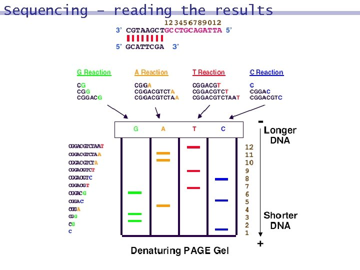 Sequencing – reading the results