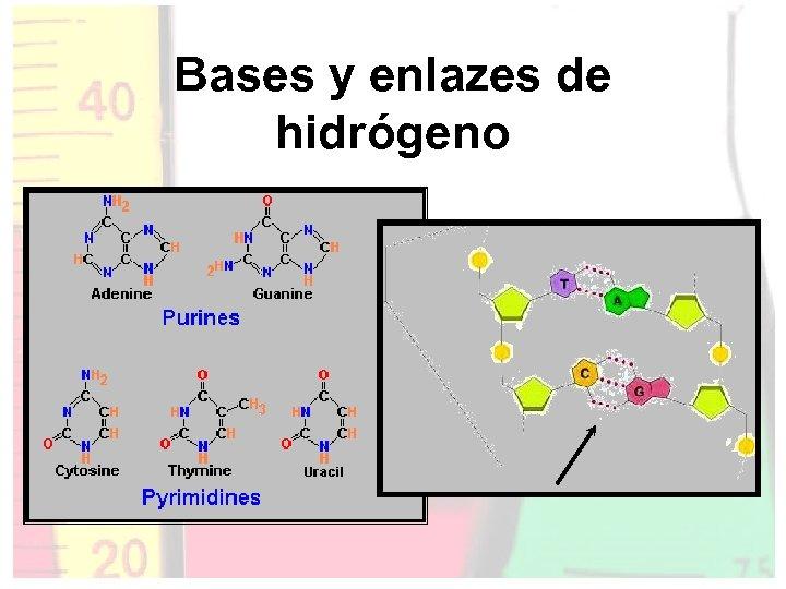 Bases y enlazes de hidrógeno