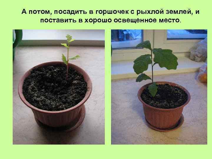 А потом, посадить в горшочек с рыхлой землей, и поставить в хорошо освещенное место.