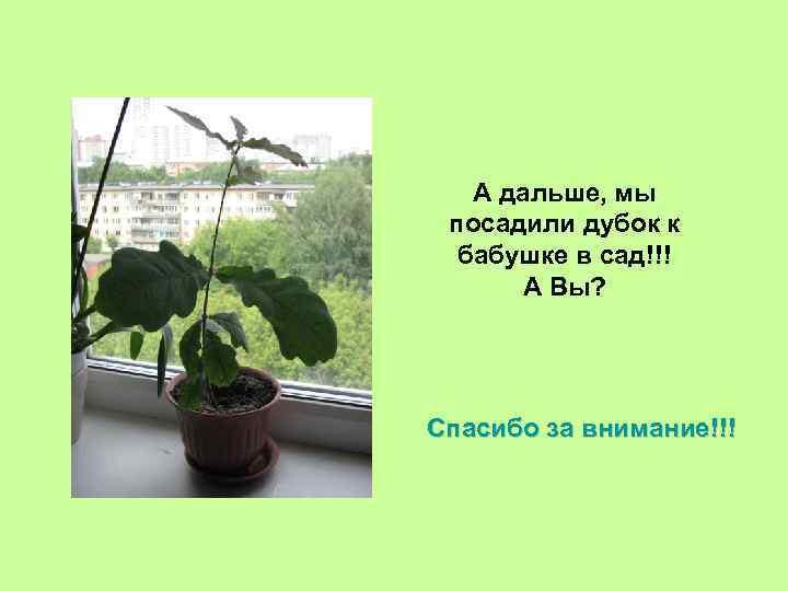 А дальше, мы посадили дубок к бабушке в сад!!! А Вы? Спасибо за внимание!!!