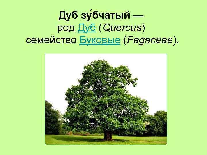 Дуб зу бчатый — род Дуб (Quercus) семейство Буковые (Fagaceae).