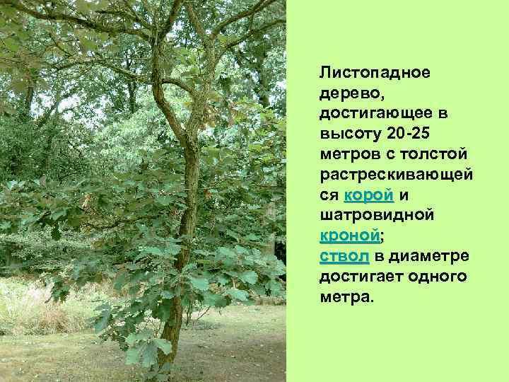 Листопадное дерево, достигающее в высоту 20 -25 метров с толстой растрескивающей ся корой и