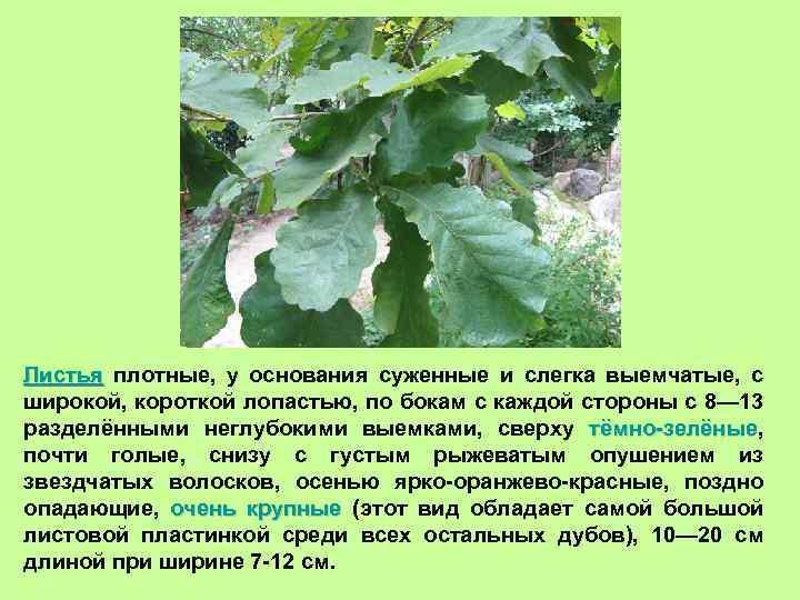Листья плотные, у основания суженные и слегка выемчатые, с широкой, короткой лопастью, по бокам