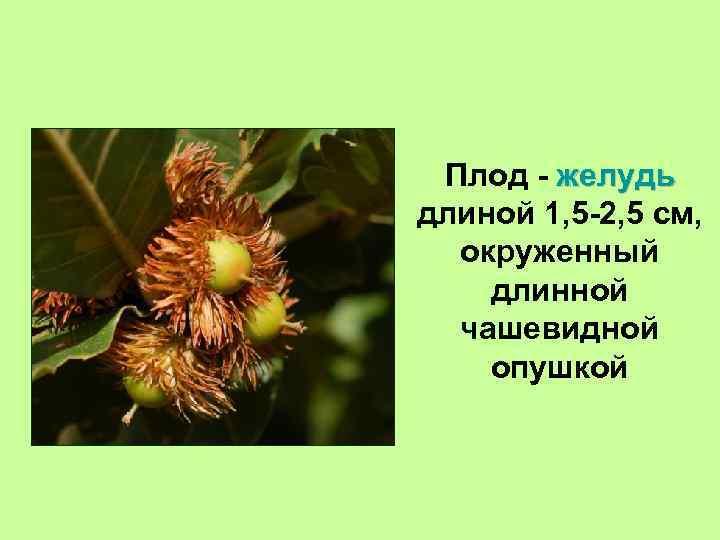 Плод - желудь длиной 1, 5 -2, 5 см, окруженный длинной чашевидной опушкой