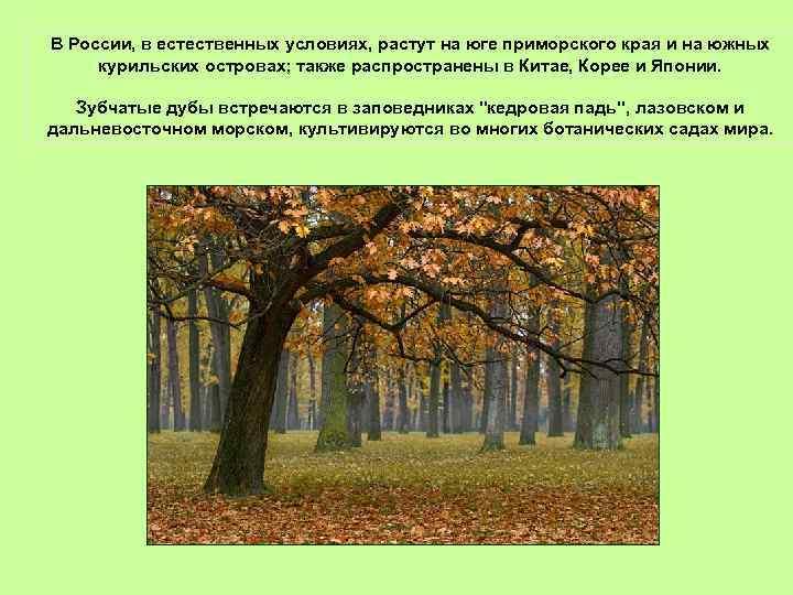 В России, в естественных условиях, растут на юге приморского края и на южных курильских