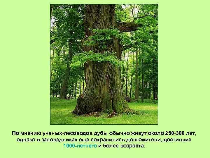 По мнению ученых-лесоводов дубы обычно живут около 250 -300 лет, однако в заповедниках еще