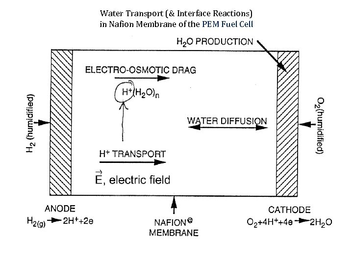 Water Transport (& Interface Reactions) in Nafion Membrane of the PEM Fuel Cell
