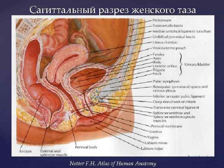 Анатомия и фото женского влагалища совет