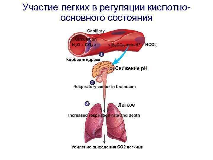 Участие легких в регуляции кислотноосновного состояния