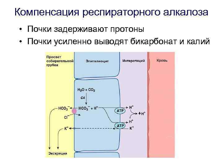 Компенсация респираторного алкалоза • Почки задерживают протоны • Почки усиленно выводят бикарбонат и калий