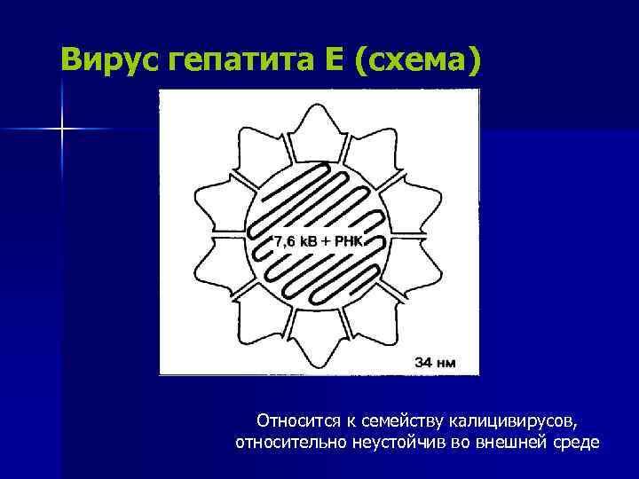 Вирус гепатита Е (схема) Относится к семейству калицивирусов, относительно неустойчив во внешней среде