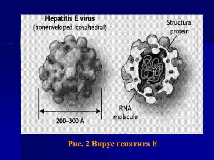 Рис. 2 Вирус гепатита E