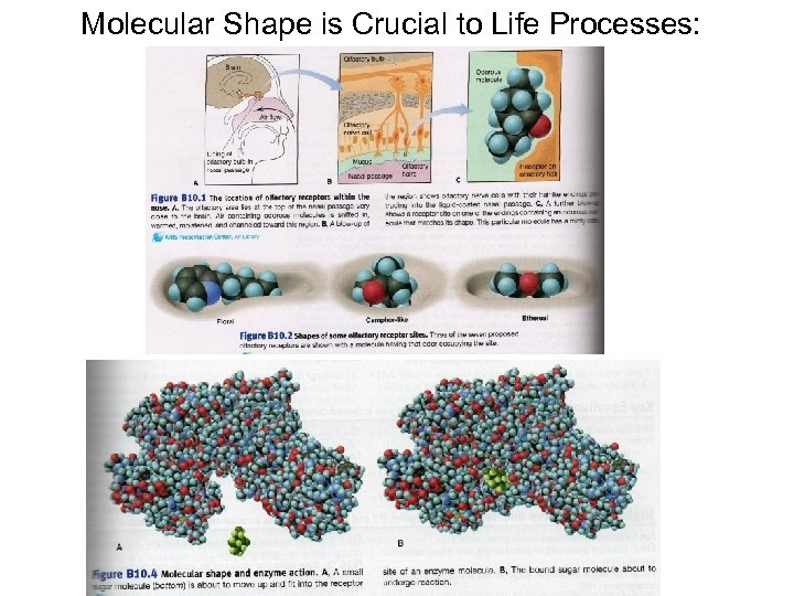 Molecular Shape is Crucial to Life Processes: