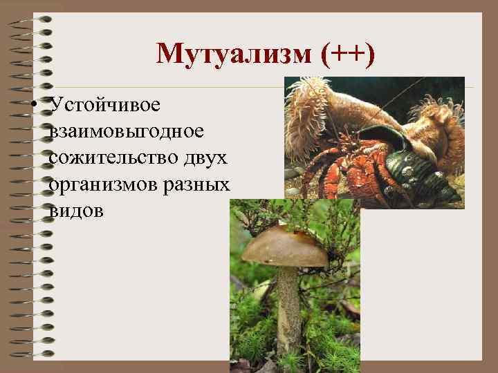 Мутуализм (++) • Устойчивое взаимовыгодное сожительство двух организмов разных видов