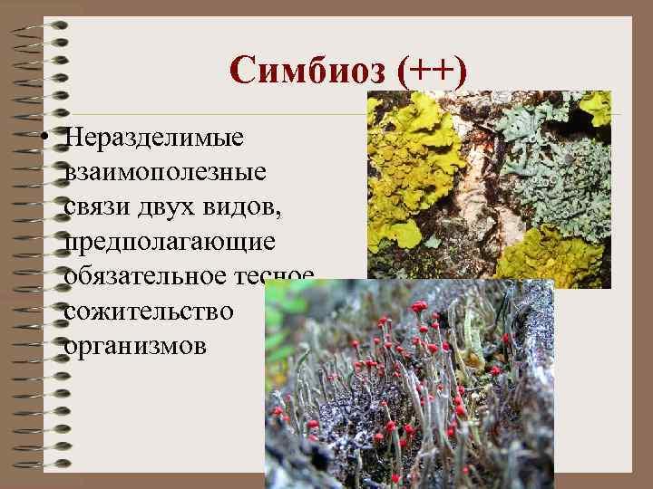 Симбиоз (++) • Неразделимые взаимополезные связи двух видов, предполагающие обязательное тесное сожительство организмов