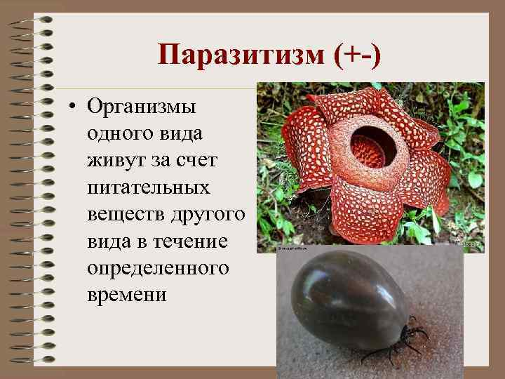 Паразитизм (+-) • Организмы одного вида живут за счет питательных веществ другого вида в
