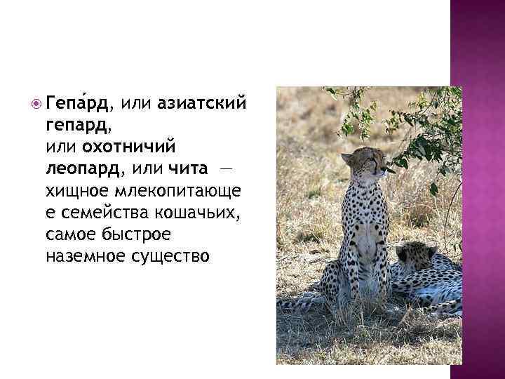 Гепа рд, или азиатский гепард, или охотничий леопард, или чита — хищное млекопитающе