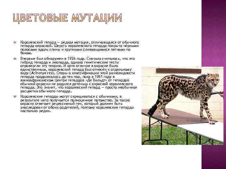 Королевский гепард — редкая мутация, отличающаяся от обычного гепарда окраской. Шерсть королевского гепарда