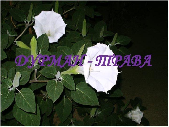 ДУРМАН - ТРАВА