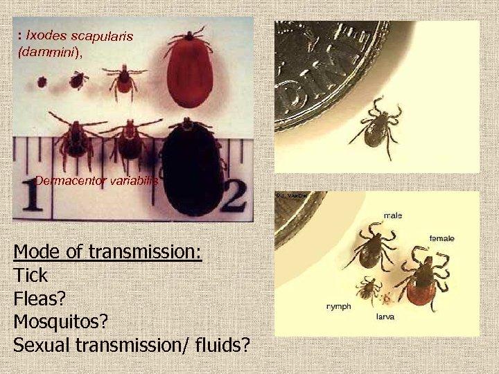 : Ixodes scapularis (dammini), Dermacentor variabilis Mode of transmission: Tick Fleas? Mosquitos? Sexual transmission/