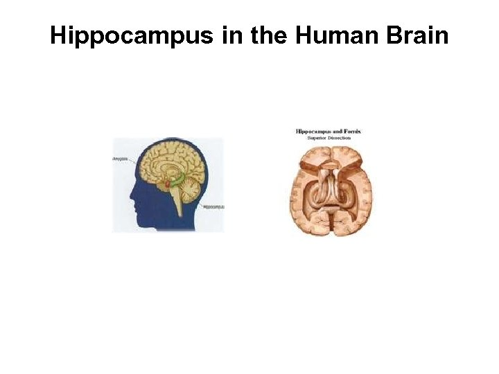 Hippocampus in the Human Brain