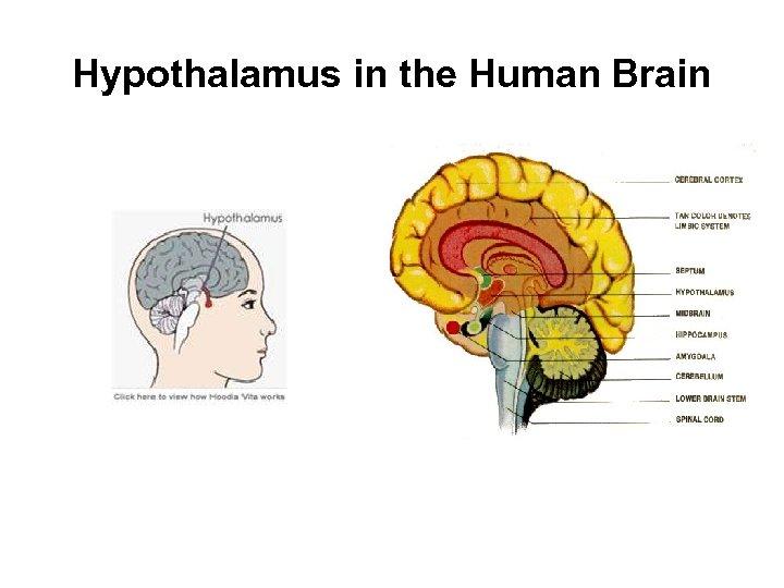 Hypothalamus in the Human Brain