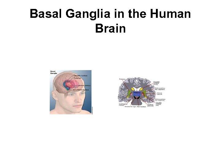 Basal Ganglia in the Human Brain