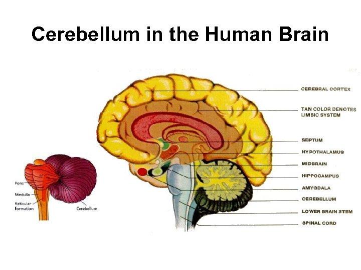Cerebellum in the Human Brain