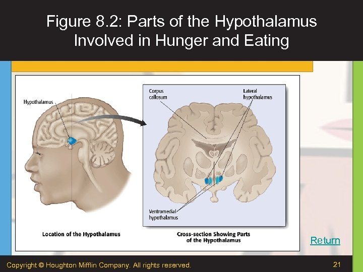 Figure 8. 2: Parts of the Hypothalamus Involved in Hunger and Eating Return Copyright