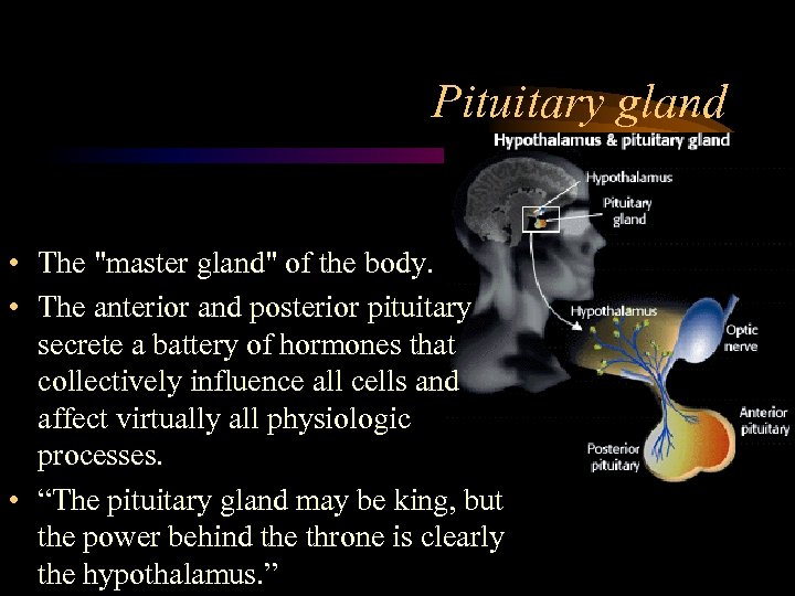 Pituitary gland • The