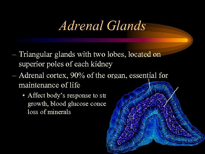 Adrenal Glands – Triangular glands with two lobes, located on superior poles of each