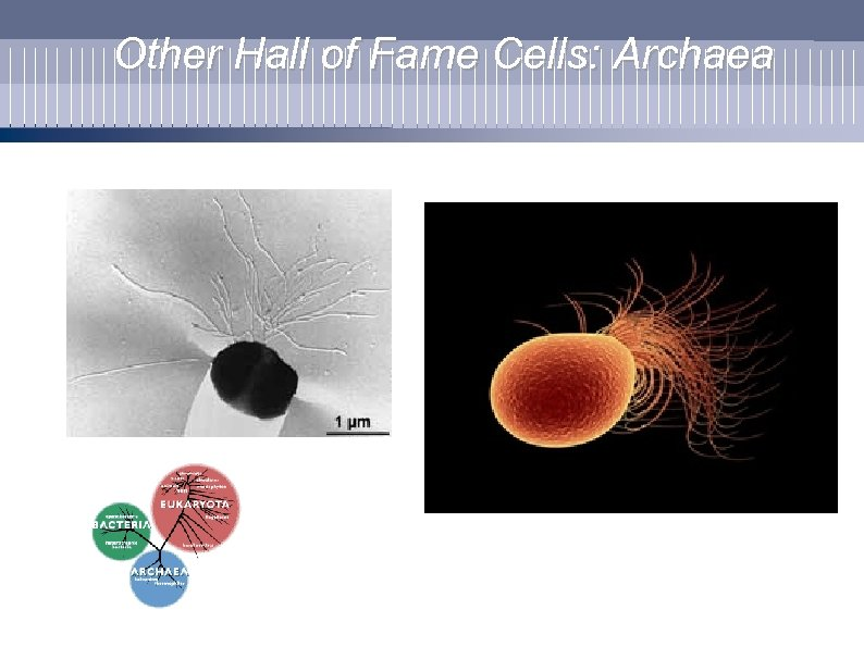 Other Hall of Fame Cells: Archaea
