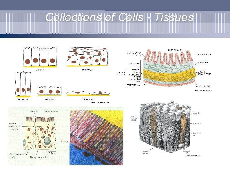 Collections of Cells - Tissues