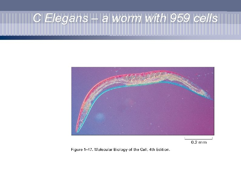 C Elegans – a worm with 959 cells