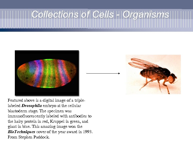 Collections of Cells - Organisms Featured above is a digital image of a triplelabeled