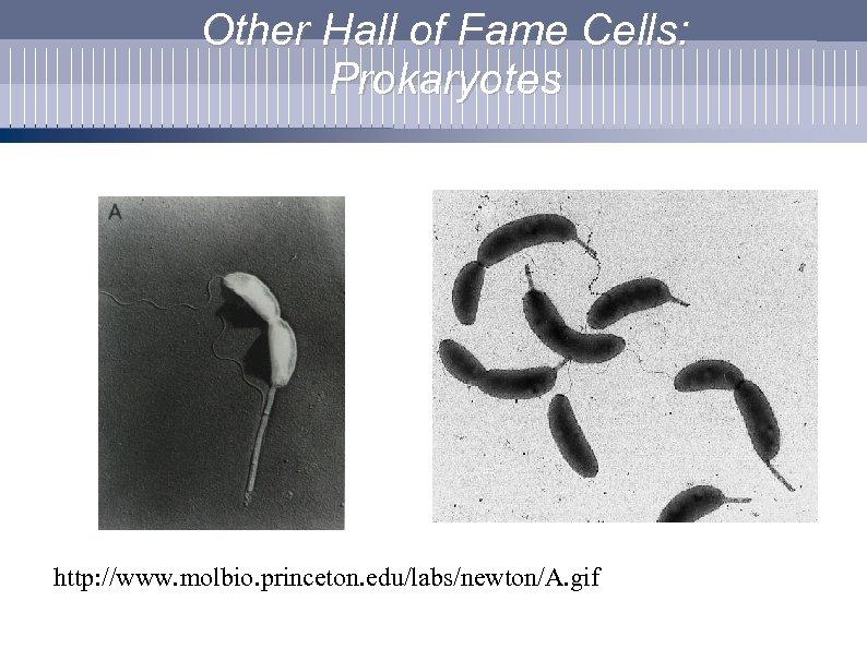 Other Hall of Fame Cells: Prokaryotes http: //www. molbio. princeton. edu/labs/newton/A. gif